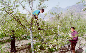 Hand-pollinating apple trees in China