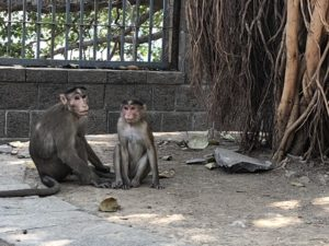 I Also Have Different Kinds Of Monkeys Swinging Through My Story. One Is  The Rare Lion Tailed Macaque Indigenous To The Sahyadri Mountain Range Of  Western ...